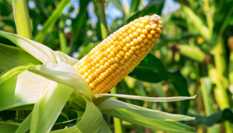 Corn prices in US progressed sharply after the recent drop - 20.01.2020