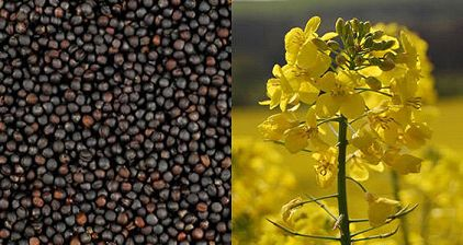 Ukraine already exported almost all produced rapeseed volumes — Ukroliyaprom - 23.01.2020