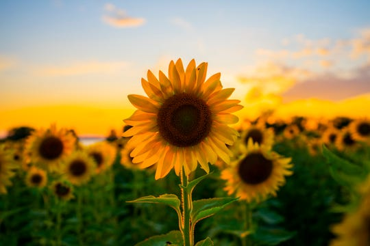 High-oleic sunflower areas in Ukraine expanded 44 pct - 24.01.2020