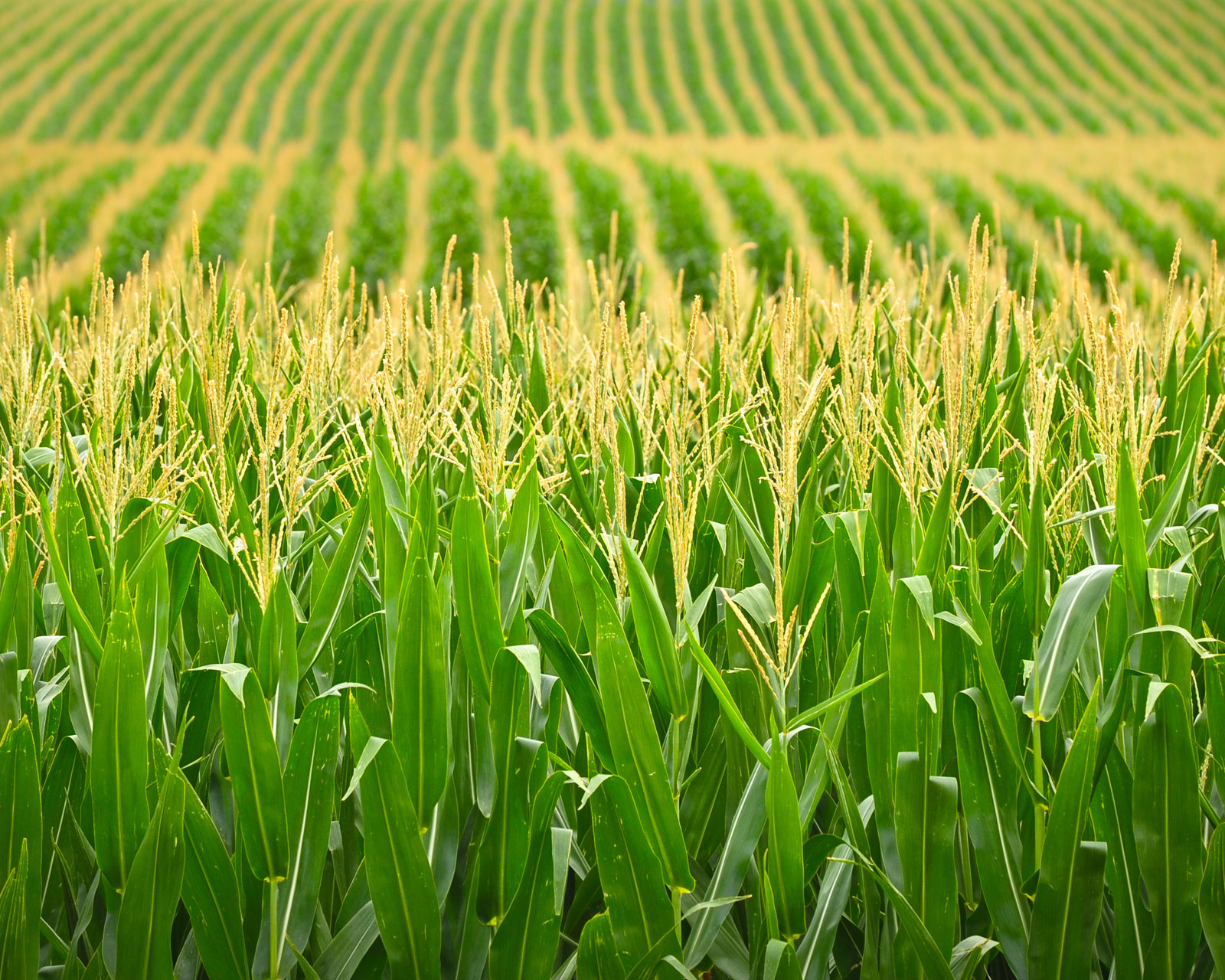 Corn and wheat prices in Chicago slid before USDA report - 11.02.2020