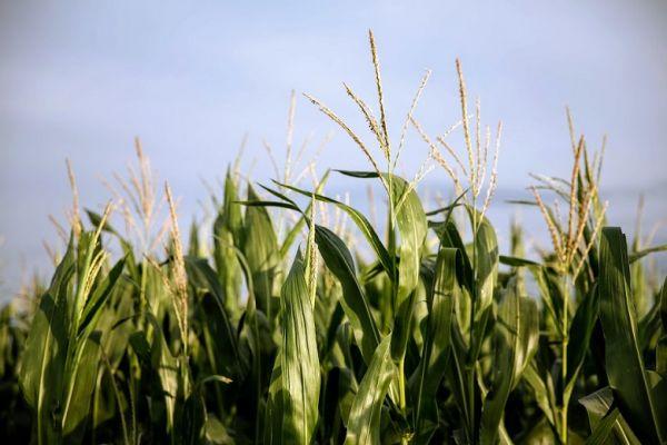 US corn prices fall - 18.03.2020