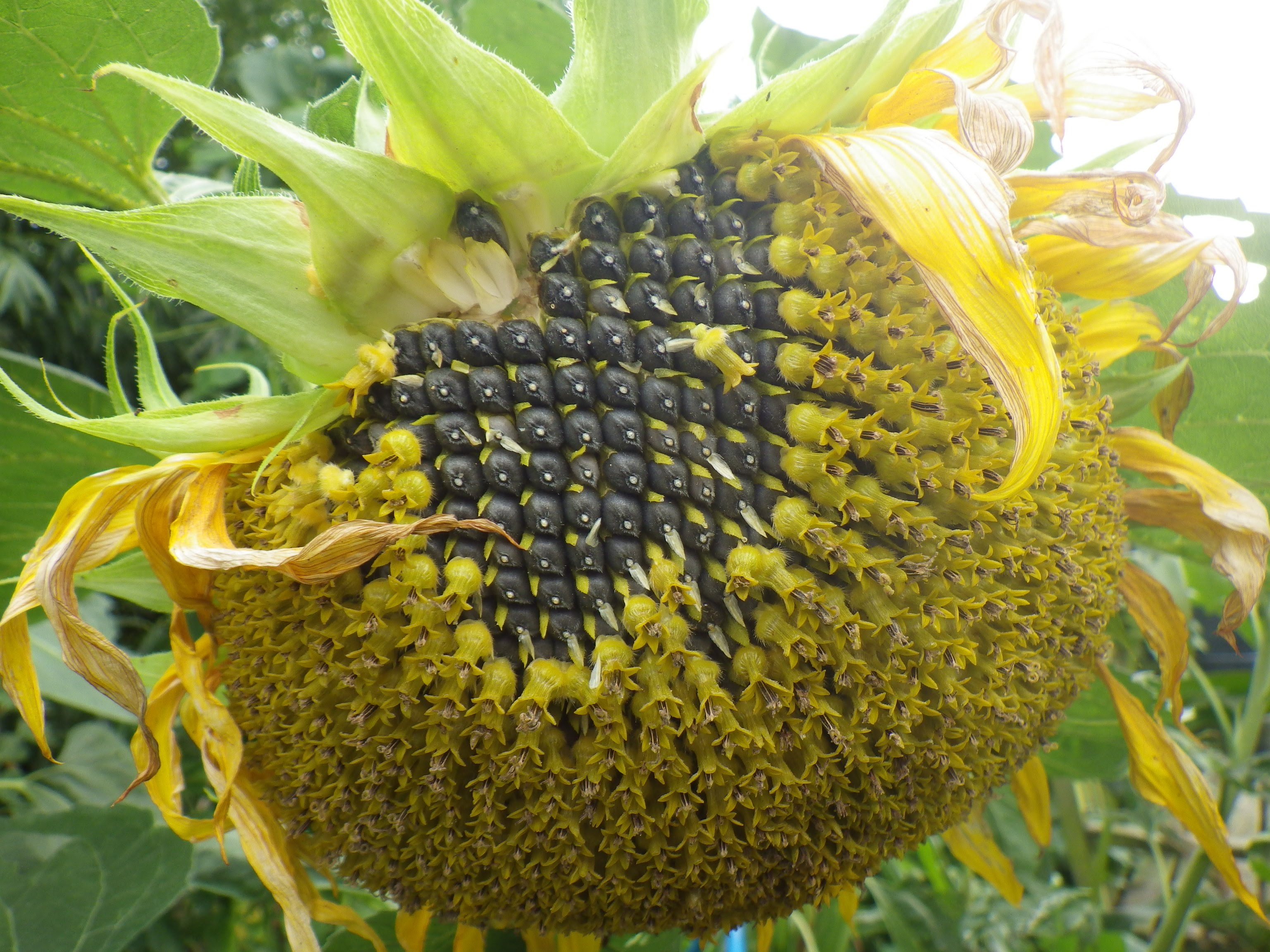 Decline of sunflower seed crop not to lead to sunflower oil deficit - Ministry of Agriculture of Russia - 30.10.2020