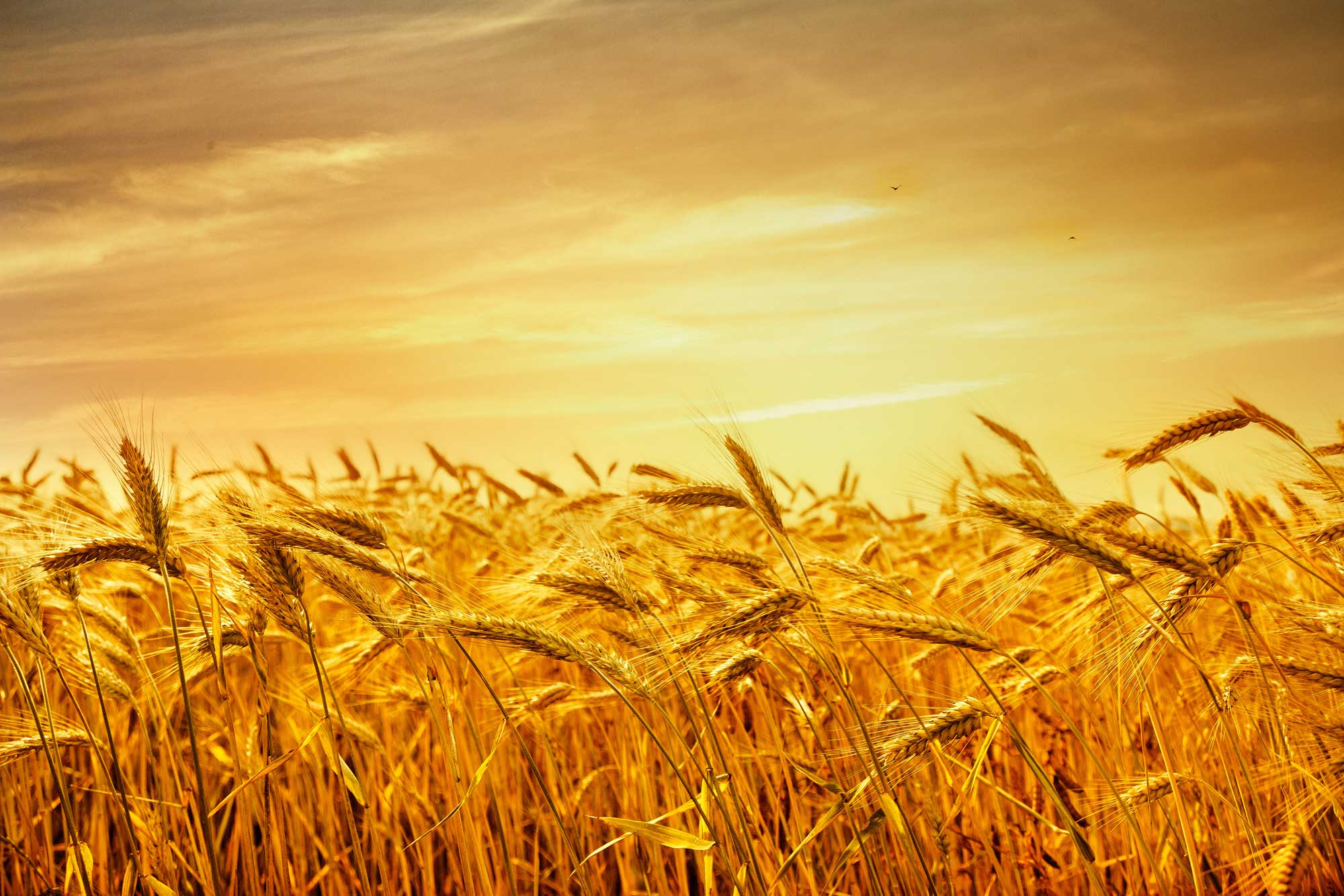 Japan creates new SBS import category for wheat