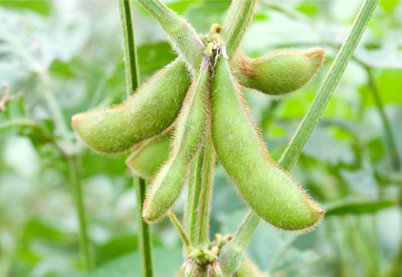 Ukraine: starting month of the new soybean season demonstrated the record processing figures — APK-Inform - 27.11.2019