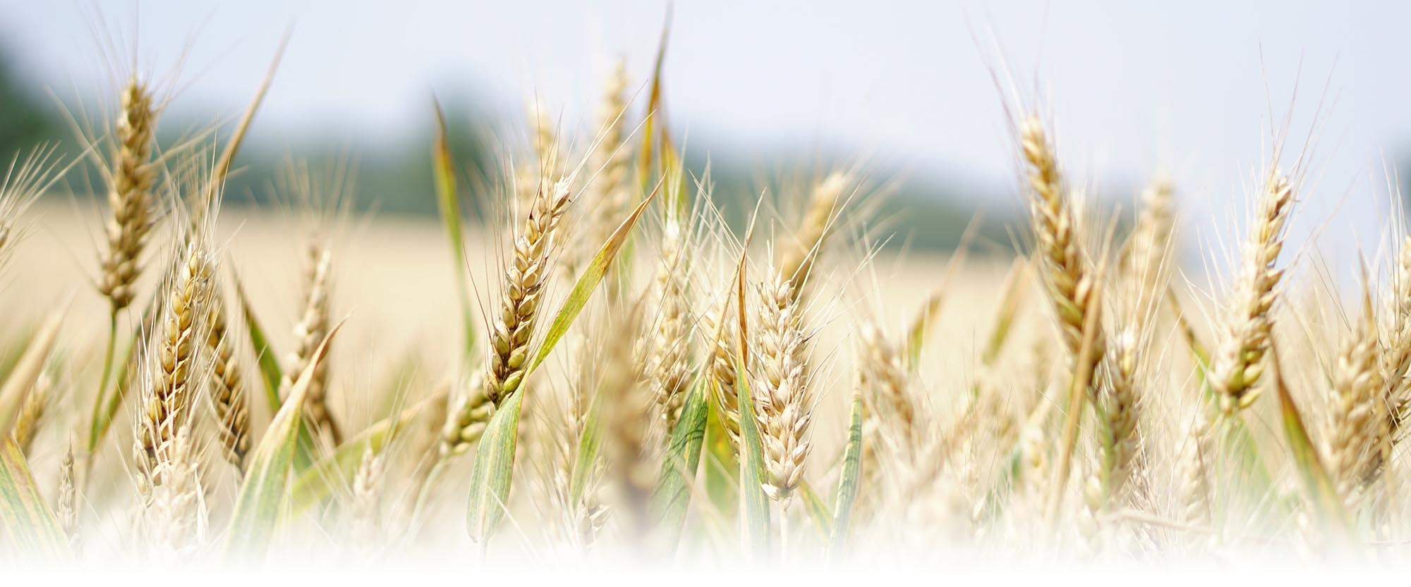 Grain export 2019/20: 14 mln t of wheat shipped from Ukraine - 12.12.2019