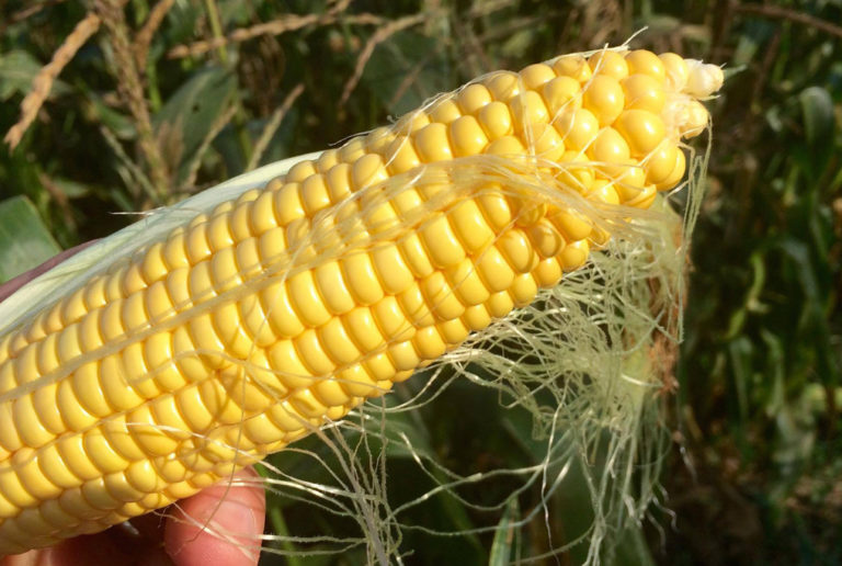 Brazil Corn Stocks Tight, Companies Already Importing Corn - 16.12.2019